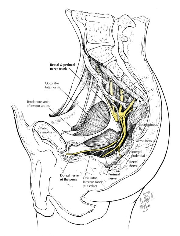 Hemipelvis 10 pudendal nerve