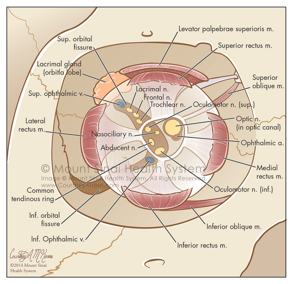 Orbit of Eye: coronal