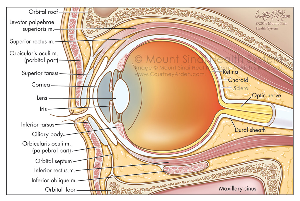 Orbit of Eye: Sagittal